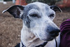 Buddy (morgan@morgangenser.com) Tags: dog loving loved white grey black harness cuteadorable pet familymember outoors indoors playful snuggler soulfuleyes dirt grass fun funny companion buddy family ears muzzle nose sniff fetch pkays sweet