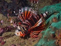Zebra Turkeyfish (Gomen S) Tags: fish animal wildlife nature underwater ocean hongkong hk china asia tropical 2017 autumn sony sonyflickraward nauticam night