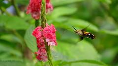 view 6238 (johnjnjj) Tags: macroglossumstellatarum sphinxcolibri morosphinx