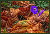 Blue flowers between autumn leaves (scorpion (13)) Tags: blue flowers autumn leaves nature frame color creative winter sun photoart plant storchschnabe storchschnabel blüte