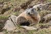 _MG_0374.jpg (Hans Van Loy) Tags: alpenmarmot dieren europa gewervelden kleinwalsertal knaagdieren landenenplaatsen oostenrijk zoogdieren