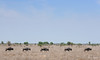 Wildebeest on the Move (Petri_) Tags: bluewildebeest wildlife wildlifephotography openplain satara krugernationalpark southafrica nikond300