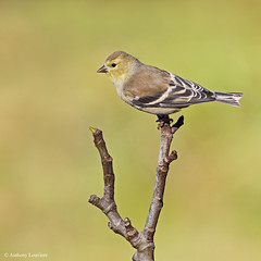 American Goldfinch (anthonylouviere) Tags: finch goldfinch americangoldfinch songbird louisiana