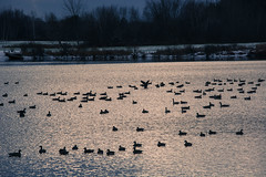 Silver_Lake_geese-6_CineHDR_OpenHighlights (old_hippy1948) Tags: