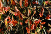 NOOKY-HESUM colours (mkk707) Tags: leicaiiia nookyhesum leitzsummitar5cm12ltm kodak 35mmfilm film analog wwwmeinfilmlabde vintagefilmcamera vintagelens itsaleica macro bokeh vintageequipment barnackbabe barnack ltm leicathreadmount m39 manualfocuslens manualfocusing closefocusingdevice closeup