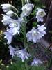 OUR LATE SUMMER FLOWERS (kelsey61) Tags: delphinium flowers gatdens plant plants delphiniums sundaylights fvf