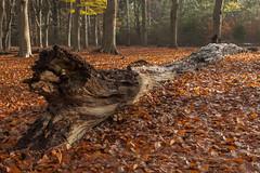 Herfst - Lage Vuursche (mariandeneijs) Tags: bos bomen boom tree trees forest herfst herfskleuren herbst autumn utrechtseheuvelrug lagevuursche