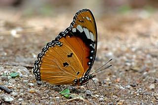 Hypolimnas misippus - the Danaid Eggfly (female)