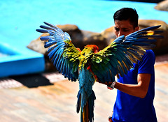 Macaw (andrewsebrio) Tags: macaw bird birding avian watching manila philippines ocean park show colors colorful parrot fly wings