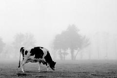 OLYMPUS OM2 Zuiko 1.8 50 FOMA 200 LC29 (Leinik) Tags: vache cow kühe olympus om2 zuiko 18 50 foma 200 lc29