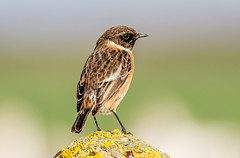DSC4731  Stonechat.. (jefflack Wildlife&Nature) Tags: stonechat stonechats chats birds avian animal animals wildlife wildbirds woodlands countryside coastalbirds glades gorse songbirds nature coth5 sunrays5 ngc