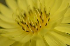 Texas Dandelion macro view  DSC_0352 copy (richardsscenery) Tags: yellowflower texas texandandelion flower macro closeup macrophotography nikon pollen