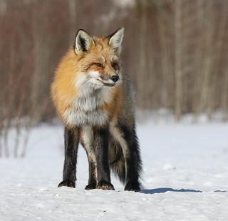 Renard roux - Red Fox    EXPLORE 6 décembre 2017