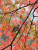 紅葉與鳥 (mikleyu) Tags: maple bird autumn animal