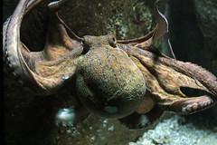 octopus Blijdorp BB2A8377 (j.a.kok) Tags: inktvis octopus blijdorp vis