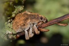 Gonipterus scutellatus Gyllenhal, 1833 (Gorgojo del eucalipto) (Jesús Tizón Taracido) Tags: coleoptera polyphaga cucujiformia curculionoidea curculionidae cyclominae gonipterini gonipterusscutellatus