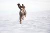 (tom.skingle) Tags: fetch ball snow swd dog water spanish