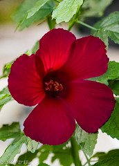 BelizeHibiscusLO-0025 (Mary D'Elia) Tags: florida ftlauderdale belizehibiscus gardens nature tropical