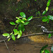 Belmopan - Hunting Kingfisher (Female)