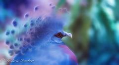 Looking Blues (frederic.gombert) Tags: zoo bird feather blue blues macro sony color look light sun houston texas autumn