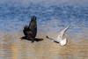 Essai de m'attraper! - Try to catch me! (bboozoo) Tags: wildlife nature mouette seagull crow corneille food nourriture canon6d tamron150600 lake lac