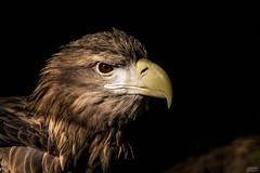 Sea eagle II (∞ Janine ∞) Tags: 2017 september deutschland germany mecklenburgvorpommern mecklenburgwesternpomerania rostock hansestadt hanseaticcity zoo rostockerzoo seeadler seaeagle eagle