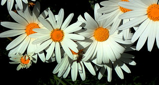 DANGLING in the DAISIES