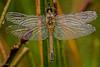 Dragonfly (mz_view) Tags: libelle dragonfly tau morgen morning insekt makro macro canoneos7d matthiaszabanski sunrise