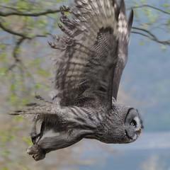 Eule im Verbeiflug_P5070790 (c4harry) Tags: eule vogel edersee flugschau greifvogelwarte greifenwarte wildtierpark
