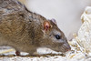 Last rat picture (Tambako the Jaguar) Tags: rat wild brown rodent close profile portrait walking rock stone basel zoo switzlerland nikon d5