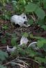 ツキノワグマの骨 (kenta_sawada6469) Tags: mammal mammals mammalia nature wildlife japan mountain forest animal bear blackbear japanese skull bone