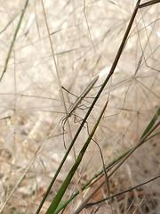 A rather elegant bug on elegant spear grass (glcoote) Tags: southaustralia sa southaustralian gregcoote bug elegantspeargrass austrostipaelegantissima vpop wildflowerwalk valepark insect
