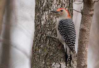 Red Bellied Woodpecker (m)