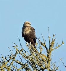 Marsh Harrier (NickWakeling) Tags: marshharrier norfolk nature cleymarshes cleynextthesea cley northnorfolk norfolkwildlifetrust wildlife canoneos7dmarkii sigma150600mmf563dgoshsmcontemporary