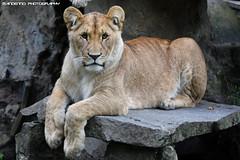 Youn African Lioness - Olmense Zoo (Mandenno photography) Tags: dierenpark dierentuin dieren animal animals belgie belgium bigcat big cat olmense olmensezoo zoo balen olmen