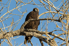 Golden Eagle keeping watch on the photographer