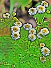 Blüten des Mutterkrautes, NGIDn45474385 (naturgucker.de) Tags: ngidn45474385 naturguckerde mutterkraut tanacetumparthenium 915119198 249020854 1962332845 cboriskarlholgerschnebele