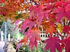 Acer Maple .. (John(cardwellpix)) Tags: friday 10th november 2017 acer maple farncombe surrey uk
