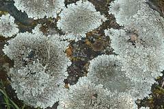Parmelia sp. (Shield Lichen) (birdgal5) Tags: california eldoradocounty folsomlakesra folsomlakestaterecarea rattlesnakebarroad quercusroad petesplace nikon d100 105mmf28dmicro lichen parmeliasp shieldlichen parmeliaceae ascomycota fungi inaturalistorg