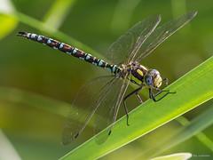 Blaugrüne Mosaikjungfer... (wernerlohmanns) Tags: wildlife natur outdoor makro libellen insekten fliegendeinsekten nikond7200 sigma150600c deutschland schärfentiefe dragonfly