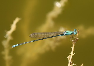 Elegant Sprite (Pseudagrion decorum) Male