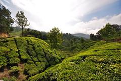 India - Kerala - Munnar - Tea Plantagen - 226 (asienman) Tags: india kerala munnar teaplantagen asienmanphotography