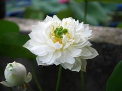 Sacred Lotus 'White Maldives' Wahgarden Thailand 6 (Klong15 Waterlily) Tags: whitemaldives lotus sacredlotus thailotus flower lotusflower wahgarden