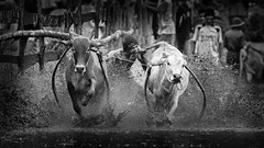 Pacu Jawi Race (Hafiz.Soyuz.Photography™) Tags: pacujawi westsumatra indonesia padang bukittinggi tanahdatar batusangkar cow bull race village blackandwhite exploreindonesia amazingindonesia viisitindonesia amazingclickacademy wonderfulindonesia