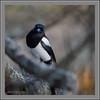 KUS_-9098 (Weinstöckle) Tags: elster vogel rabenvogel