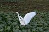 Muoversi come un fantasma in prima serata (M. Coppola) Tags: florida hillsborough lettucelakepark egrettacaerulea littleblueheron whitestage