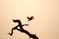 Egyptian Goose Siluet (mayekarulhas) Tags: krugernationalpark limpopo southafrica za egyptian goose siluet canon canon500mm bird avian flying sunset wildlife wild