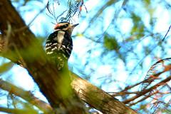 Downy Woodpecker (M. Coppola) Tags: downywoodpecker picoidespubescens pasco florida
