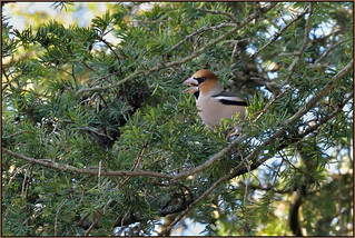 Hawfinch (image 1 of 3)