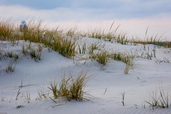 snowy owl (primemundo) Tags: snowyowl beach sand dunes dunegrass newjersey islandbeachstatepark owl bird nj odc thatface